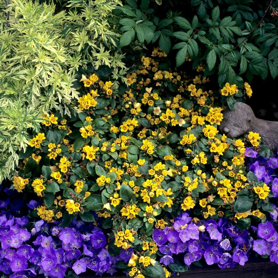 Lysimaque persistante Lysimaque à fleurs compactes (Lysimachia congestiflora)