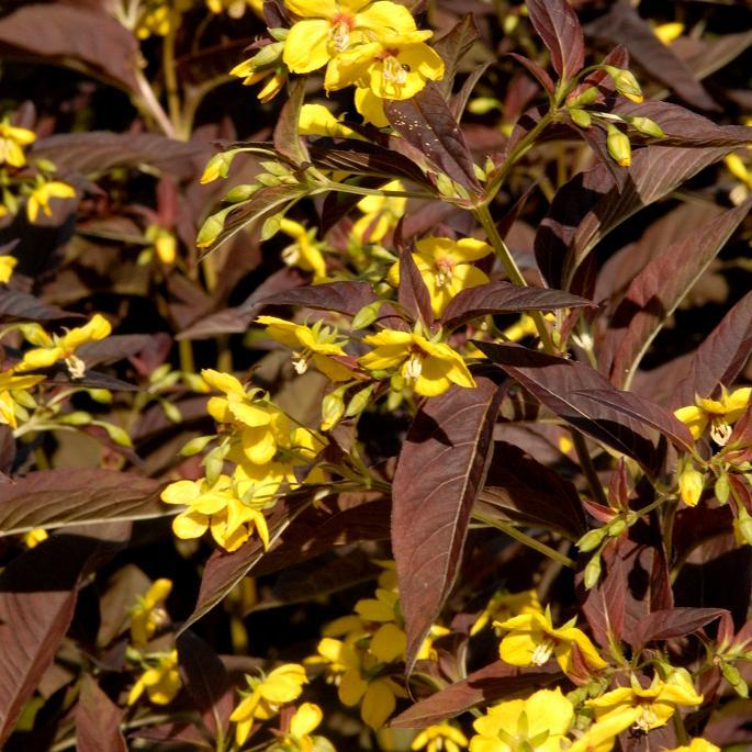 Lysimaques caduques à fleurs jaunes Lysimaque ciliée (Lysimachia ciliata 'Firecracker')