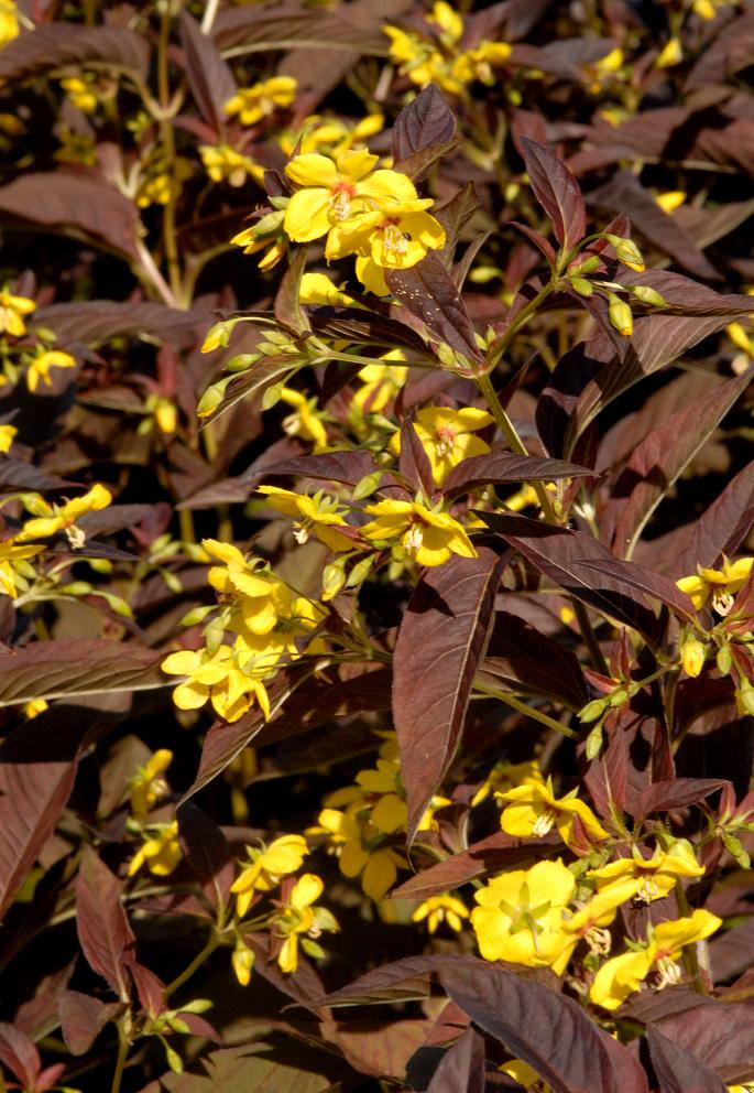 Lysimaque   planter et cultiver