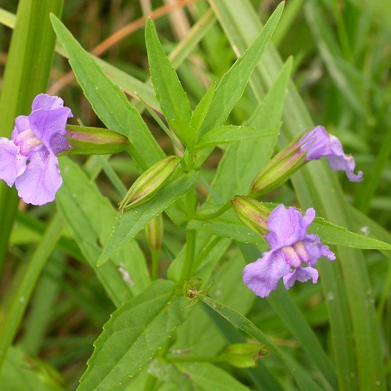 Espèces vivaces rustiques Mimulus bleu, mimulus à fleurs entrouvertes (Mimulus ringens)