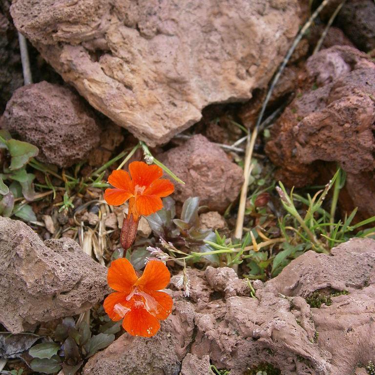 Espèce cultivée en annuelle Mimulus cupreus