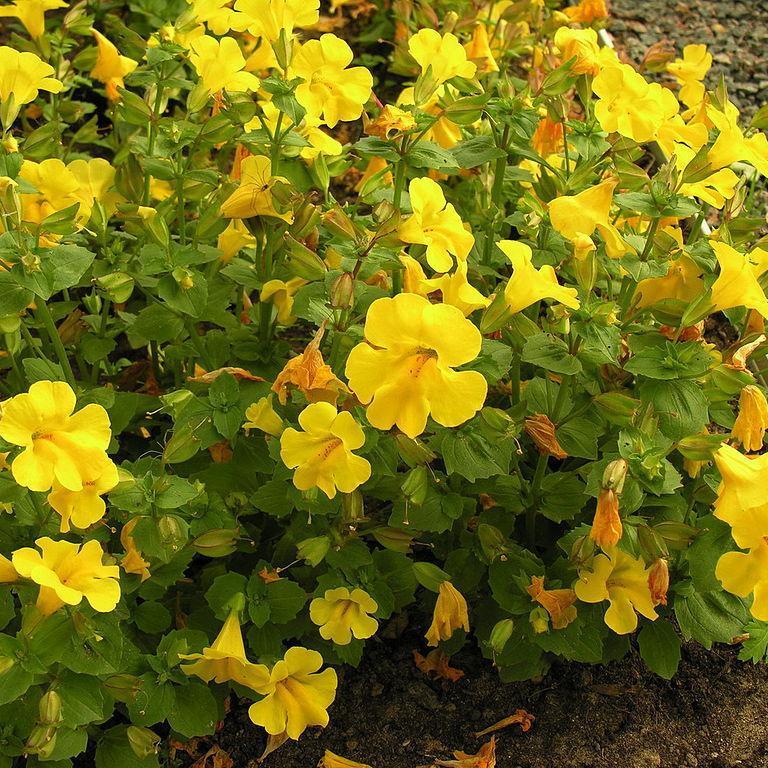 Espèces vivaces rustiques Mimulus tacheté (Mimulus guttatus)