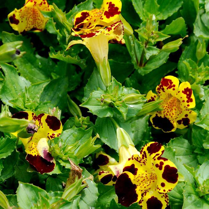 Espèces vivaces rustiques Mimulus jaune (Mimulus luteus)