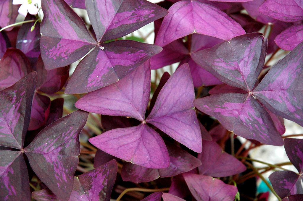 Oxalis planter et cultiver ooreka for Achat plante