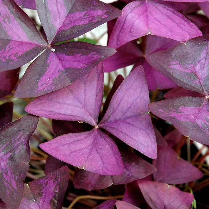 Variétés à fleurs blanches Oxalide du Chili (Oxalis triangularis)
