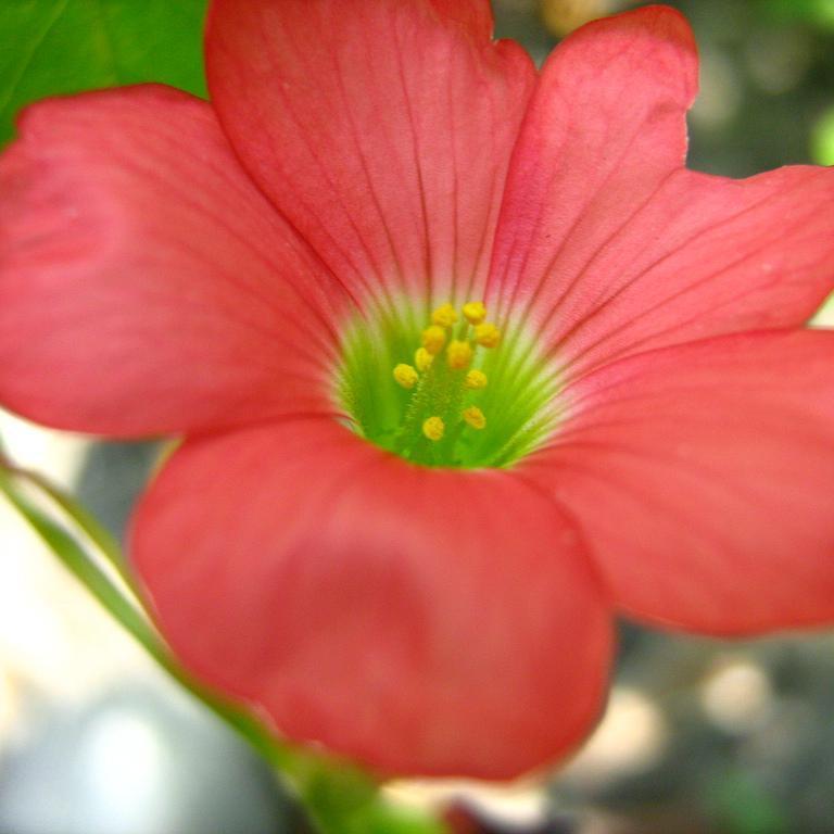 Variétés à fleurs colorées Trèfle à 4feuilles (Oxalis deppei)