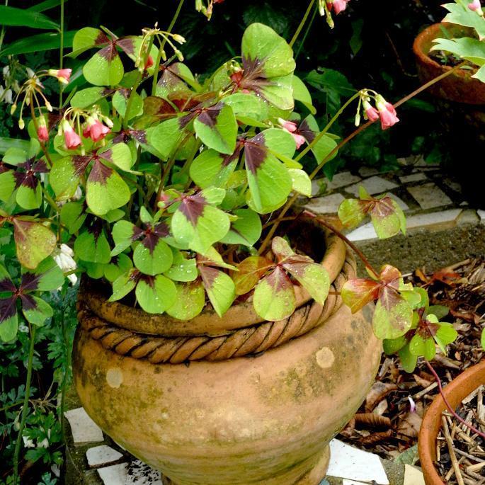 Variétés à fleurs colorées Oxalis deppei 'Iron Cross'