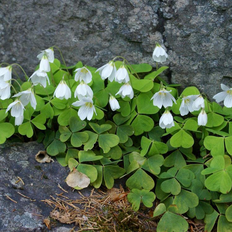 Variétés à fleurs blanches Oxalide petite oseille (Oxalis acetosella)
