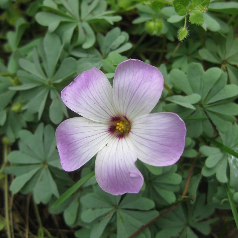 Variétés à fleurs colorées Oxalide adenophylla (Oxalis adenophylla)