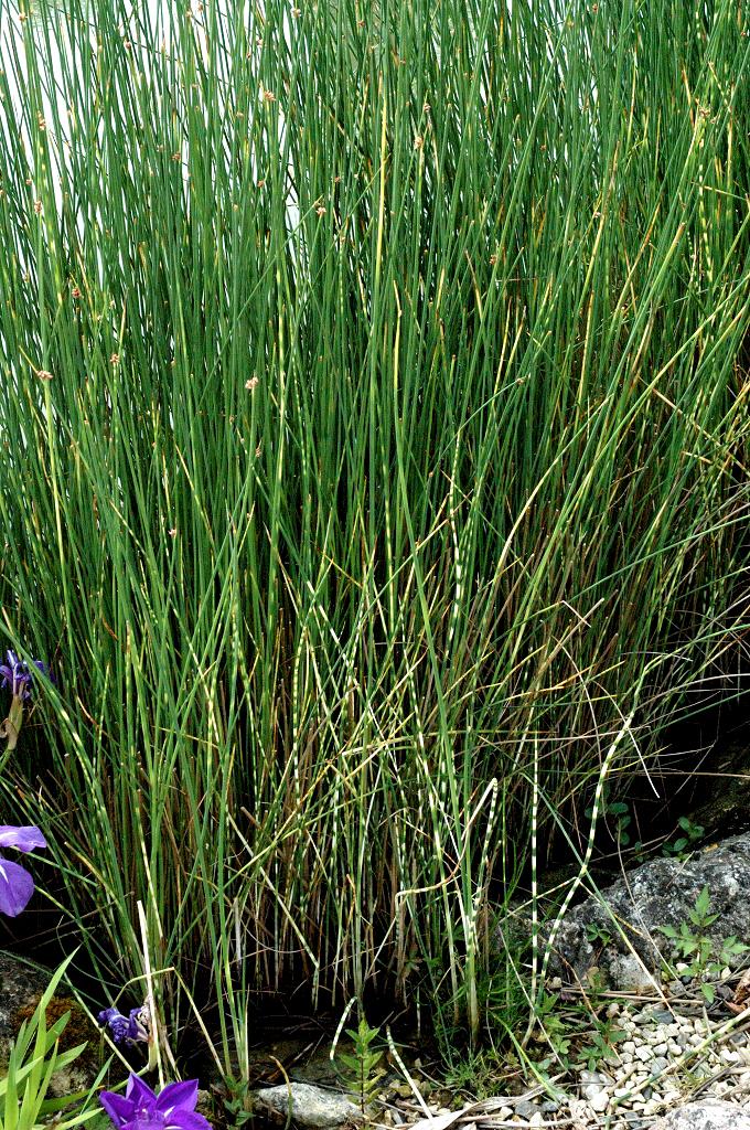 Jonc des chaisiers cultiver et entretenir ooreka for Plante qui pousse