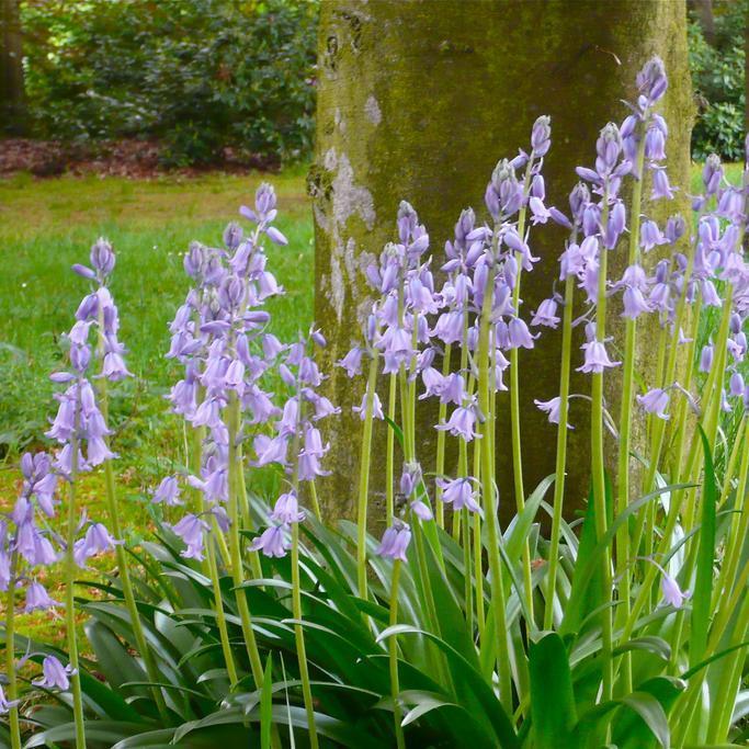 Espèces à floraison printanière Scille fausse jacinthe (Scilla hyacinthoides)