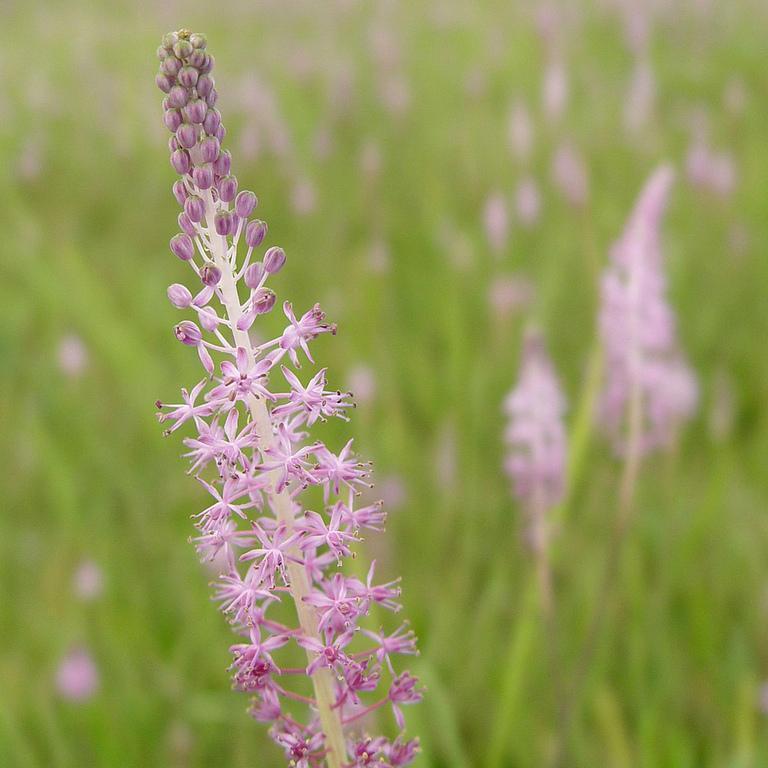 Espèces à floraison automnale et hivernale Scille du Japon (Scilla scilloides)