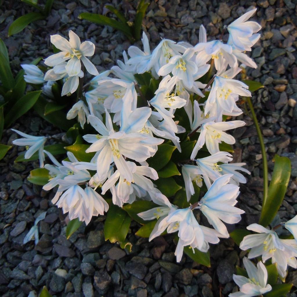Espèces à floraison printanière Scille blanche (Scilla mischtschenkoana)