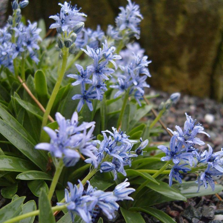 Espèces à floraison automnale et hivernale Scilla lingulata