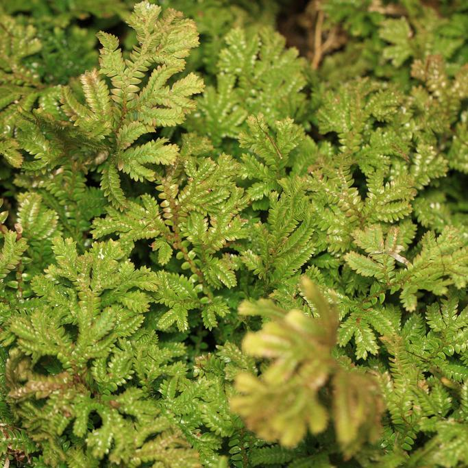 Selaginella uncinata Espèce type