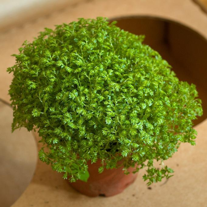 Sélaginelle sans pied (Selaginella apoda) Espèce type