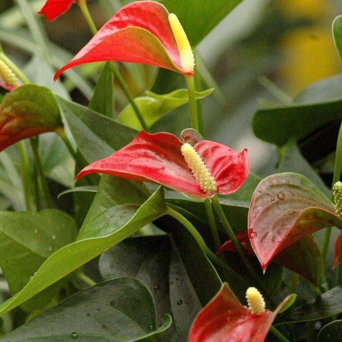 Anthurium planter et entretenir ooreka for Plante urticante