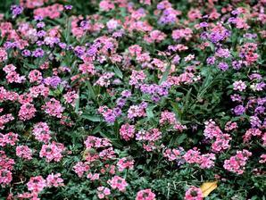 Multiplication de la verveine des jardins