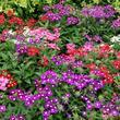 Dictionnaire des plantes : plantes commençant par la lettre v