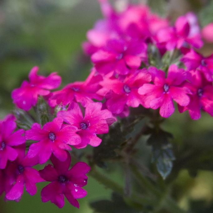 Verveine hybride, verveine des jardins (Verbena x hybrida) 'Rosy Fire'