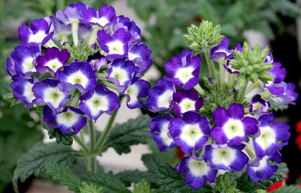 Verveine hybride : Planter et cultiver – Ooreka