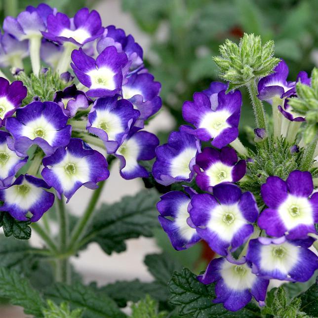 Verveine hybride, verveine des jardins (Verbena x hybrida) Série Novalis
