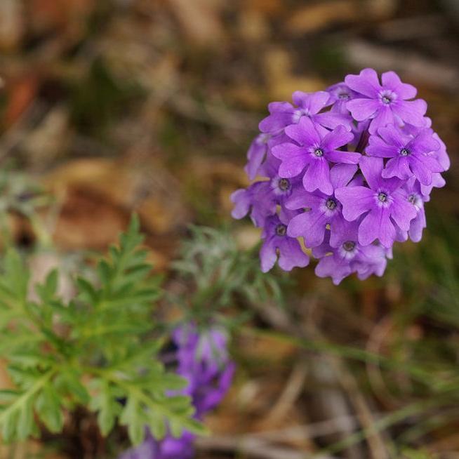 Verveine hybride, verveine des jardins (Verbena x hybrida) 'Imagination'