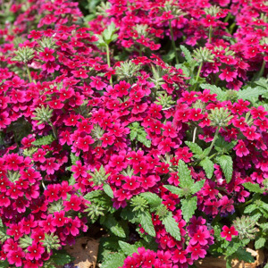 Verveine hybride, verveine des jardins (Verbena x hybrida) 'Burgundy'