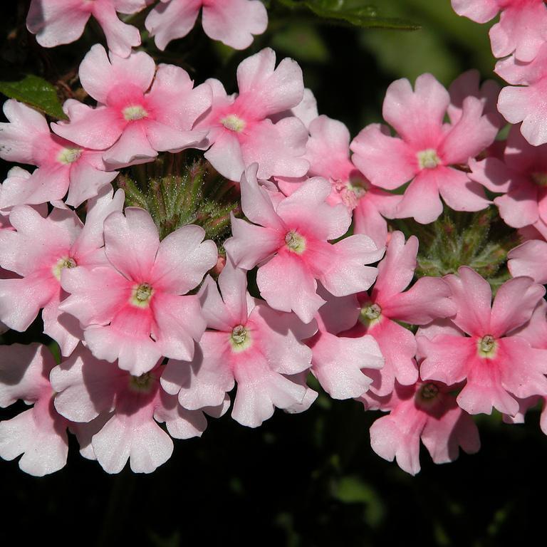 Verveine hybride, verveine des jardins (Verbena x hybrida) 'Apple Blossom'