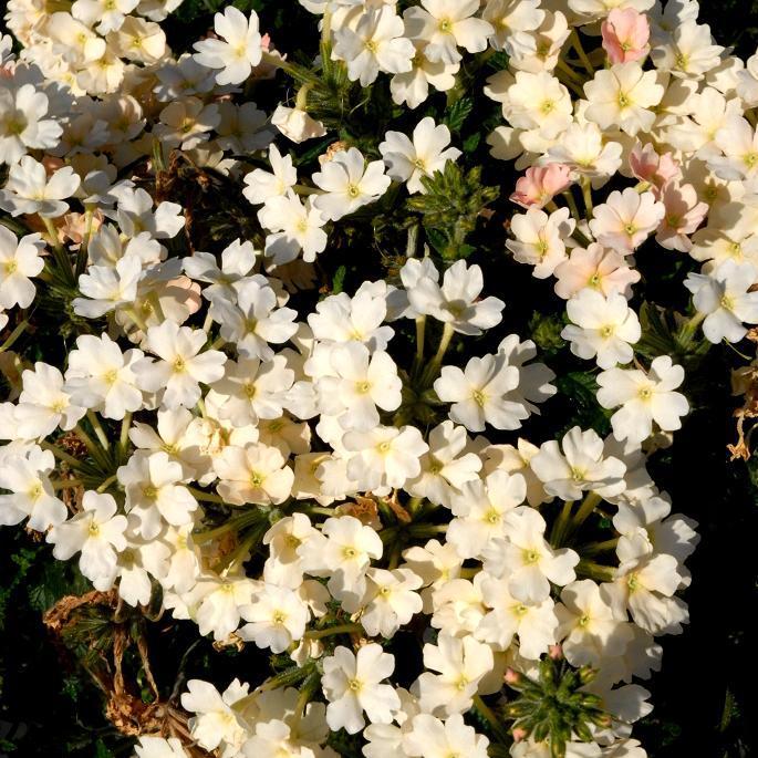 Verveine hybride, verveine des jardins (Verbena x hybrida) 'Peaches and Cream'