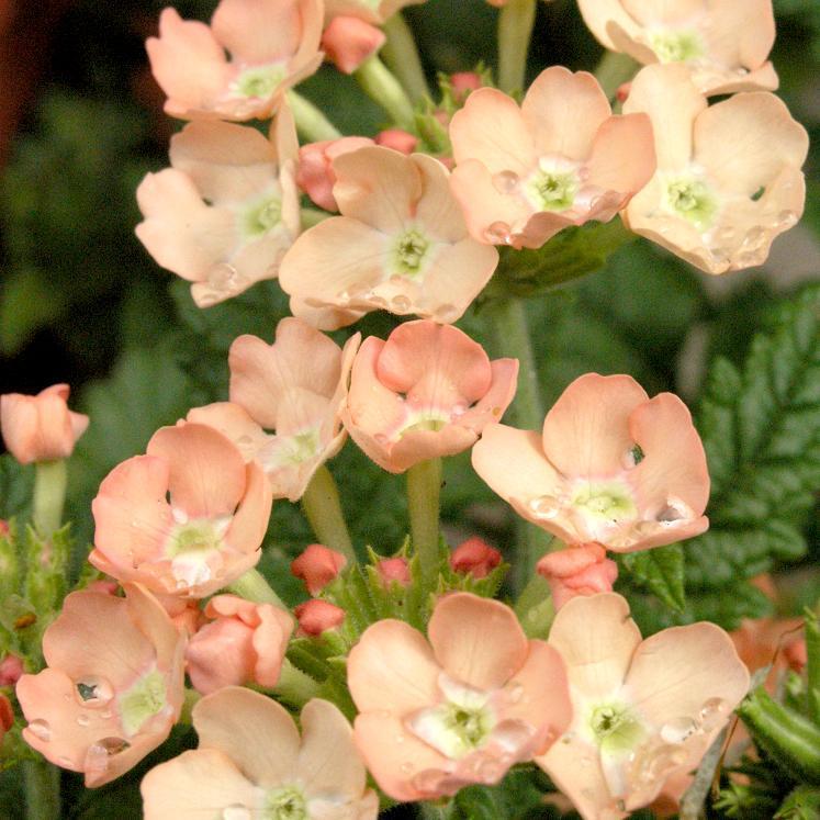 Verveine hybride, verveine des jardins (Verbena x hybrida) 'Romance'