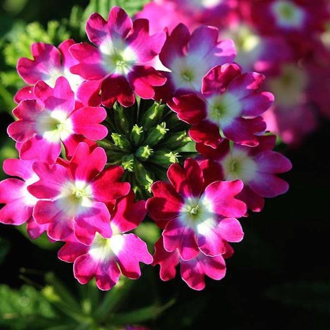Verveine hybride, verveine des jardins (Verbena x hybrida) 'Tukana Strawberry and Cream'