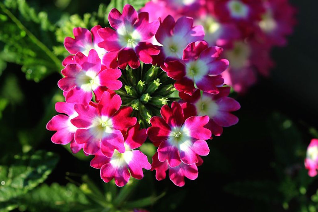 Verveine hybride planter et cultiver ooreka - Planter de la verveine ...