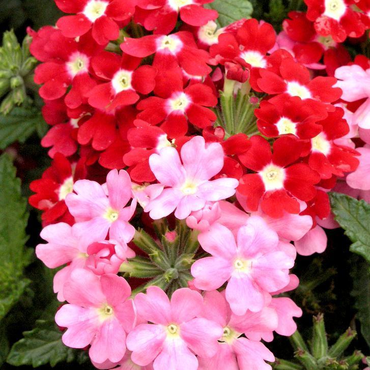 Verveine hybride, verveine des jardins (Verbena x hybrida) 'Quartz'