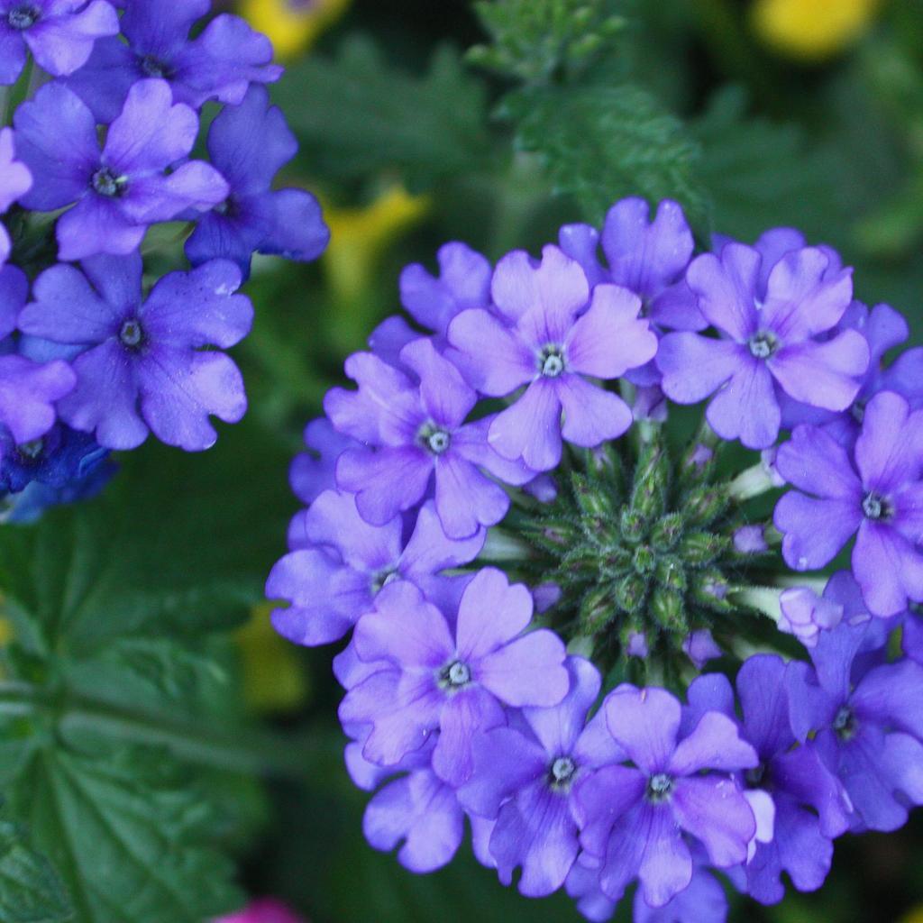 Verveine hybride, verveine des jardins (Verbena x hybrida) 'Blue lagoon'