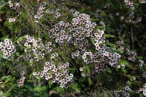Culture et entretien du <em>Chamelaucium uncinatum</em>