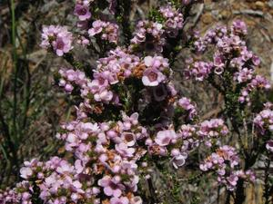 Plantation du <em>Chamelaucium uncinatum</em>