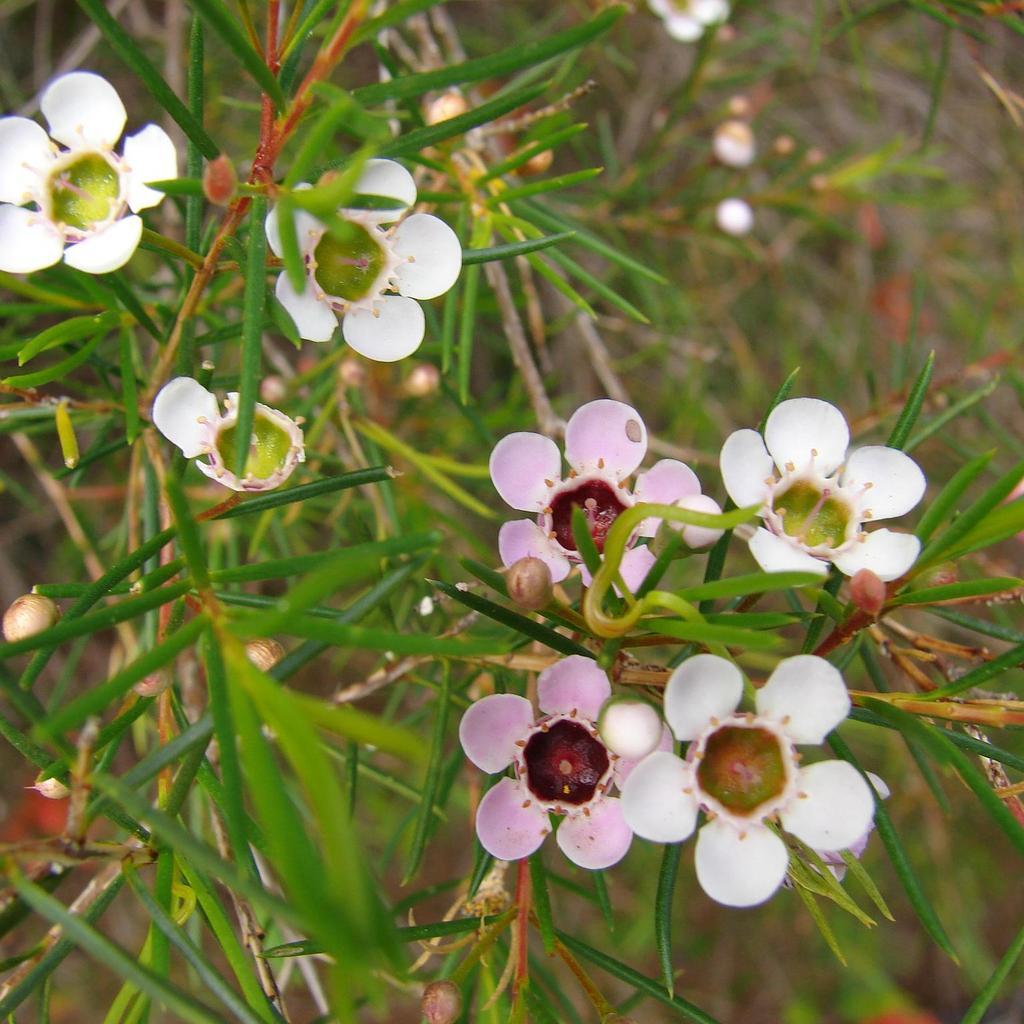 Chamelaucium uncinatum cultiver ooreka for Arbuste en anglais