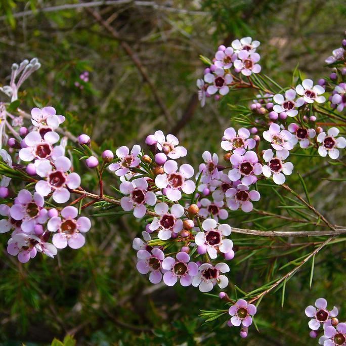 Fleur de cire, en anglais: waxflower, Geraldton wax (Chamelaucium uncinatum, syn. Darwinia uncinata) Espèce type