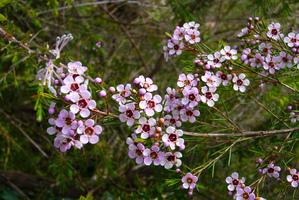 Multiplication du <em>Chamelaucium uncinatum</em>