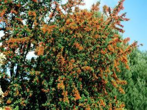 Multiplication de l'arbre de feu du Chili