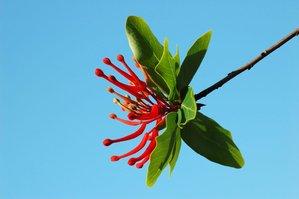 Plantation de l'arbre de feu du Chili