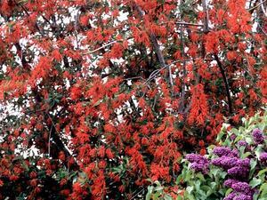 Culture et entretien de l'arbre de feu du Chili