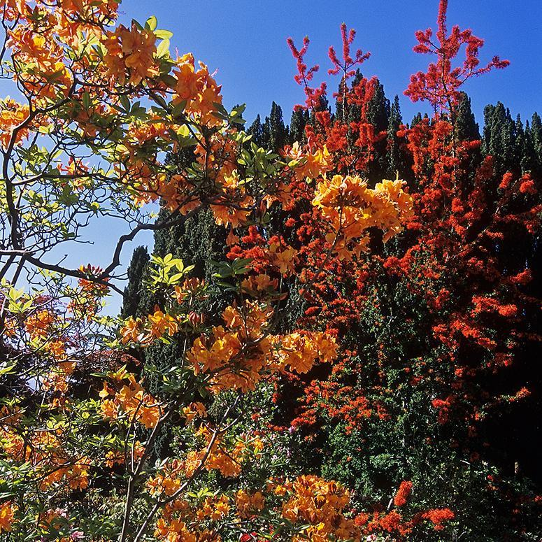 Arbre de feu, noms chiliens: notro, ciruelillo, fosforito (Embothrium coccineum, syn. E. lanceolatum, E. coccineum f. lanceolatum) 'Norquinco Valley'