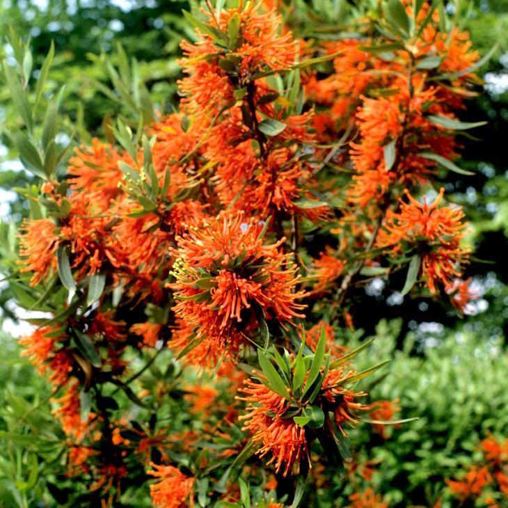 Arbre de feu, noms chiliens: notro, ciruelillo, fosforito (Embothrium coccineum, syn. E. lanceolatum, E. coccineum f. lanceolatum) Espèce type