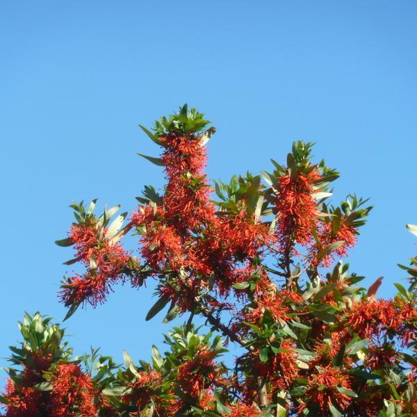 Arbre de feu, noms chiliens: notro, ciruelillo, fosforito (Embothrium coccineum, syn. E. lanceolatum, E. coccineum f. lanceolatum) 'Lanceolatum'