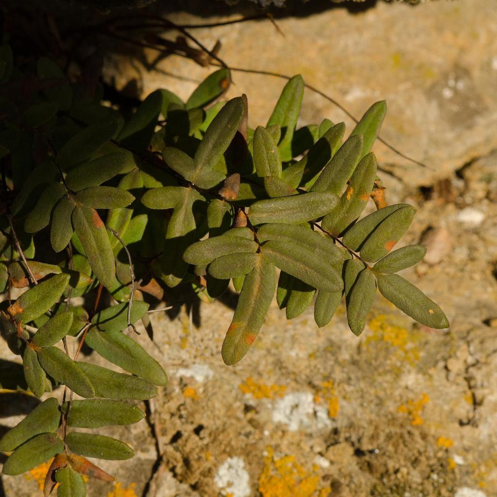 Pelléa, fougère violette des falaises (Pellaea atropurpurea)