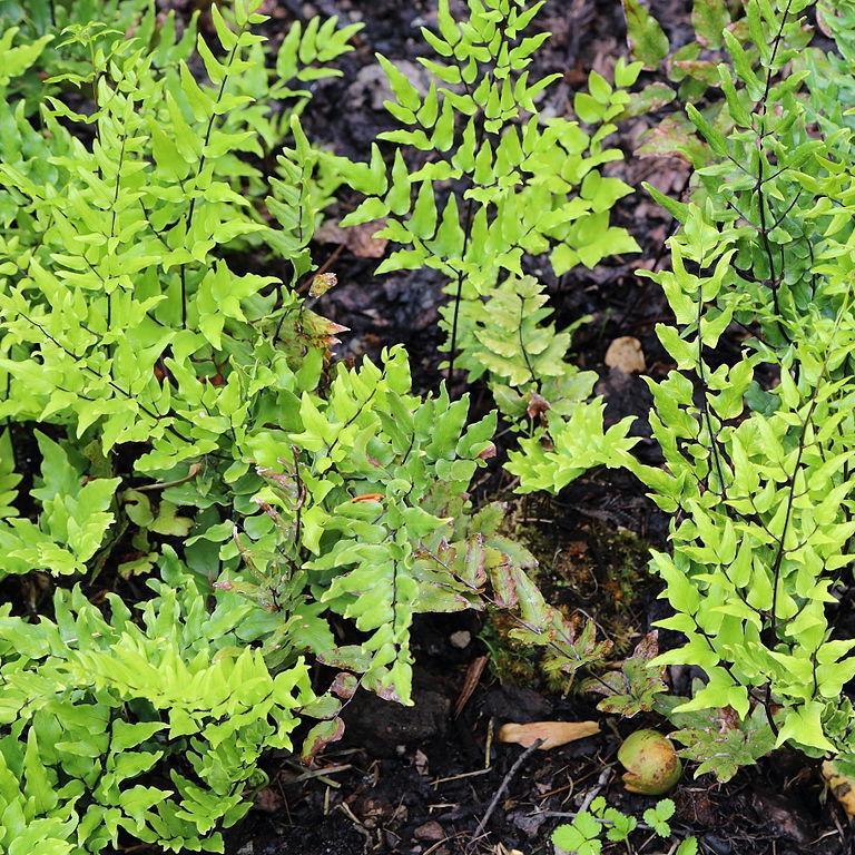 Pelléa vert (Pellaea viridis)