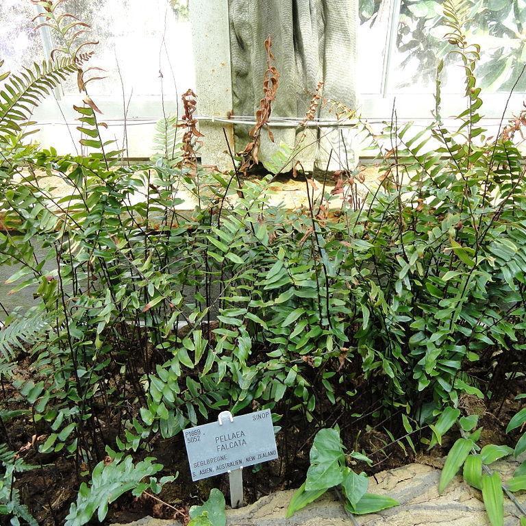 Pelléa en faux (Pellaea falcata)