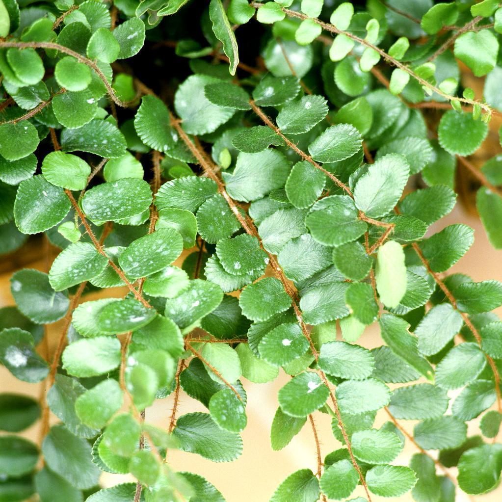 Fougère à boutons, pelléa à feuilles rondes (Pellaea rotundifolia)